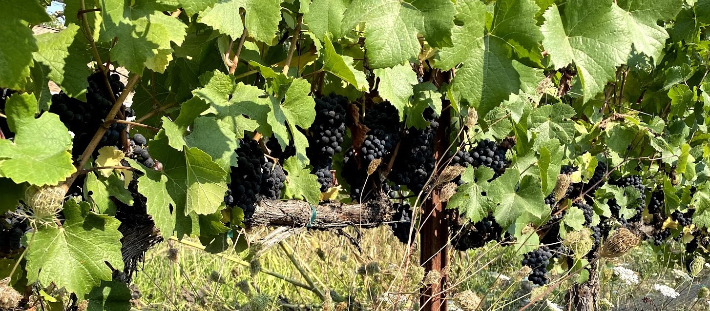 Cover image - grapes on the vine